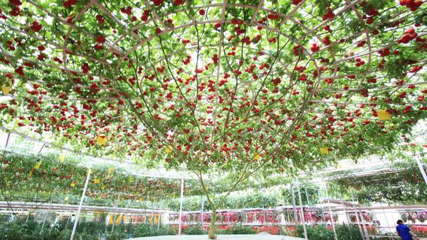 巨大的西红柿树