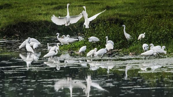会仙湿地翩翩起舞的白鹭 潘久辉摄