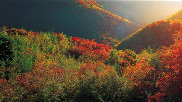 《光色晨曲舞朝阳 秋到深山满目金》-云台山风景区供图