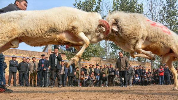农民斗羊 韩廷杰 摄