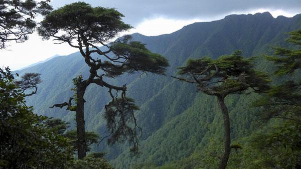 梵净山古老特有树——冷杉  周文庆 摄