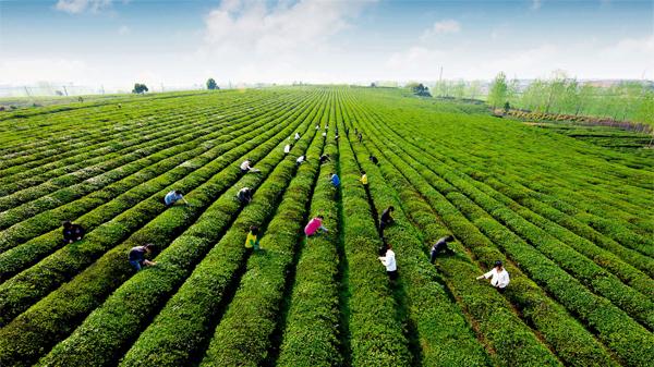 《中国绿茶之乡》