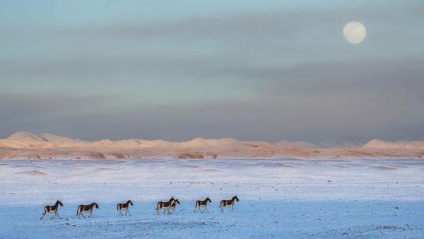 寒月印驴群 何启金 摄