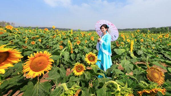 向日葵花海(全国美丽乡村示范村——高党) 陈祥春 摄