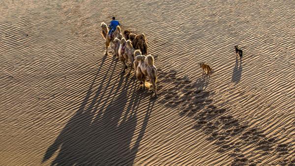 大漠驼影 郭瑞 摄