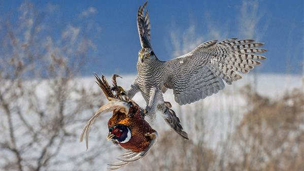 猎鹰天降 金生隆 摄