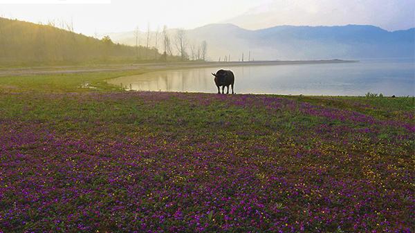 岱冲湖畔紫云英-吴保国 摄