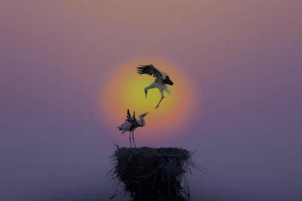 《东营市鸟·东方白鹳》 黄高潮 摄