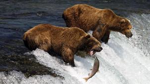 [龙摄天下]2014美国棕熊&大马哈鱼摄影团