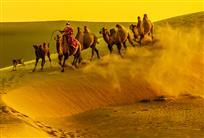 冲沙的骆驼