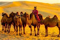 放牧骆驼的蒙族大叔