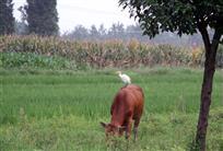 牛背上的白鹭