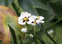 多彩的三叶花。