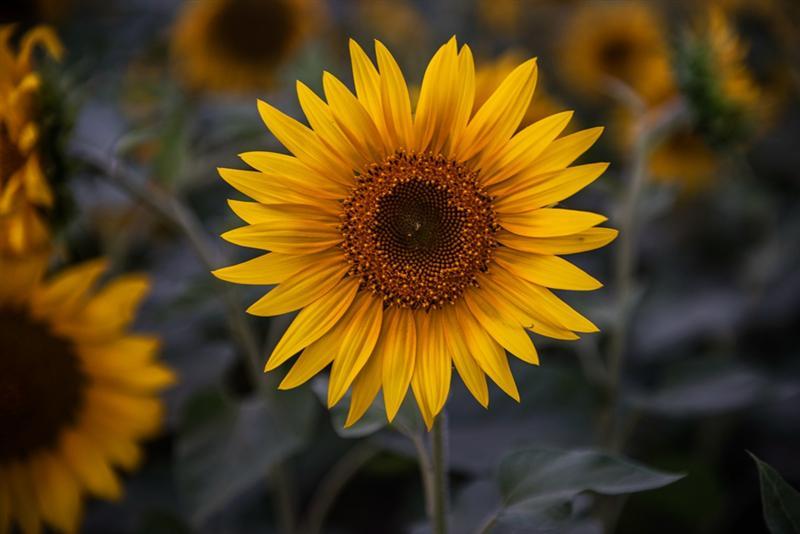 上一页 下一页 作品名称: 向阳花  作品描述: 美丽  拍摄地点: 新疆