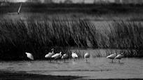 东湖湿地鹭栖图