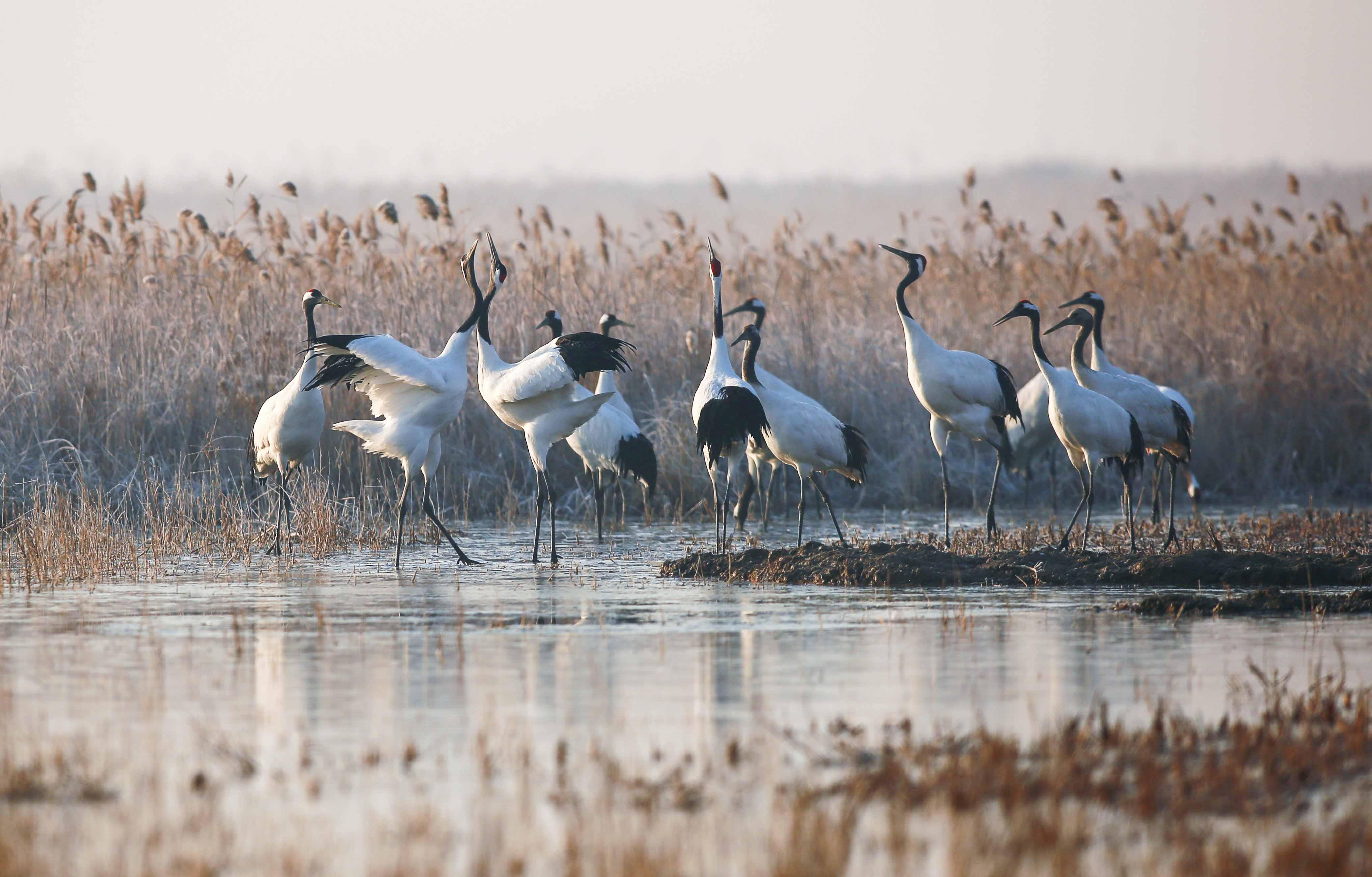芦花下赛舞  作品描述: 美好生态,美好家园  拍摄地点: 盐城丹顶鹤