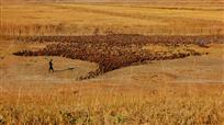 湿地牧鸭图