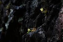野生石斛生崖壁