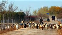 黄河口牧羊曲