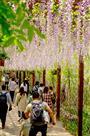 《紫薇长廊》