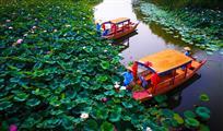 湿地采莲正当时