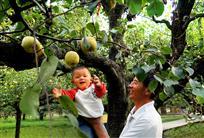 娃娃喜摘大酥梨