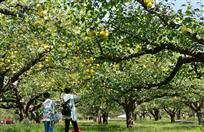 百年老树梨满枝