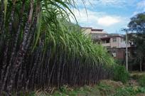 厝前的蔗林