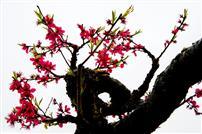 鹰嘴蜜桃花