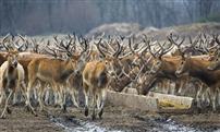 麋鹿故乡情