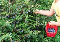 采摘蓝莓v