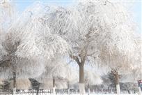 柳树结银花